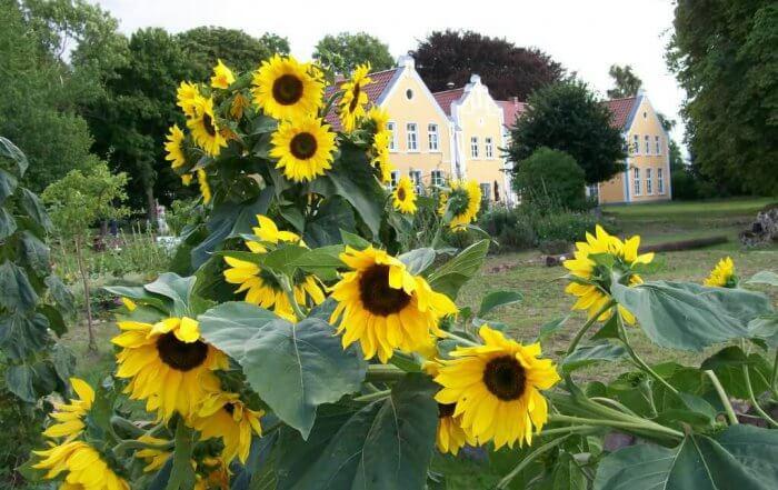 Gutshaus Ehmkendorf Sonnenblumen im Garten